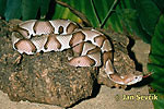 thumb-copperhead--agkistrodon-contortrix[1]
